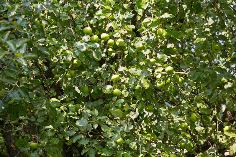 Home grown organic apple tree with green fruit growing in orchard royalty free stock photos