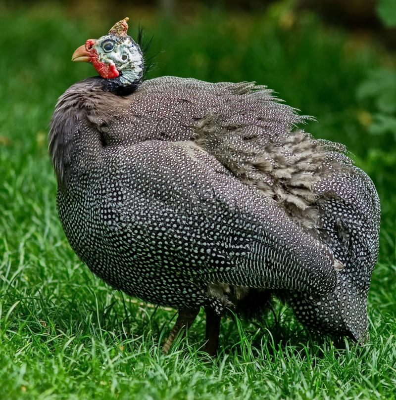 Home Guinea fowl-one of the species of poultry. Birthplace of the domesticated ordinary Guinea fowl-Western royalty free stock image