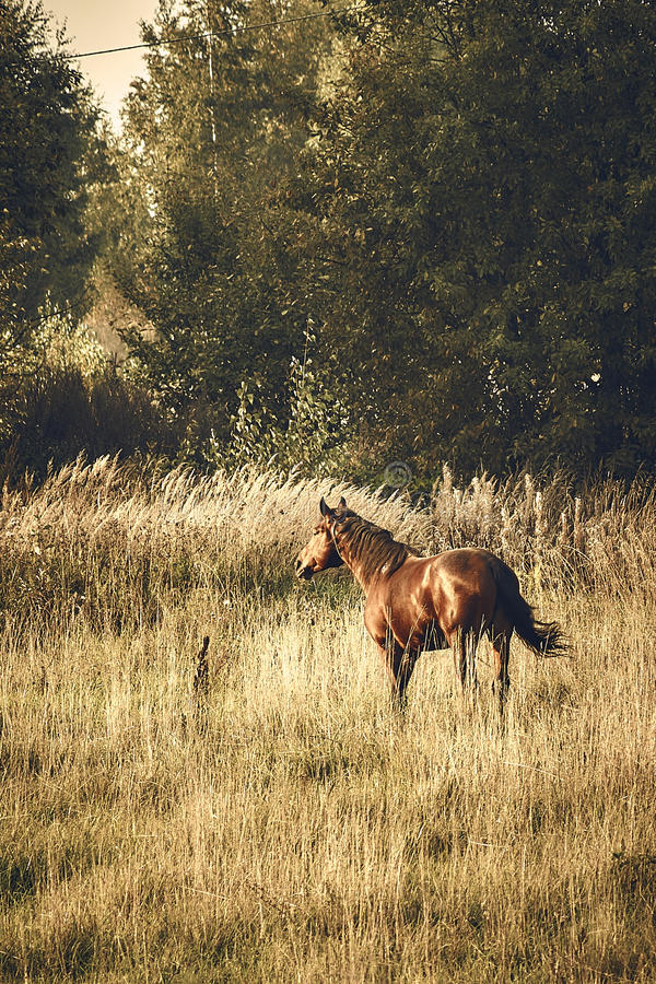 Home horse in the field in autumn royalty free stock image