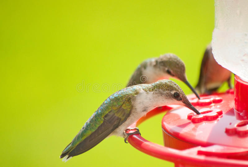 home hummingbirds för matställe arkivbilder