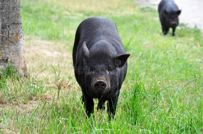 Home improvement is a big black pig. Pig breeding is involved in raising and raising domestic pigs stock image