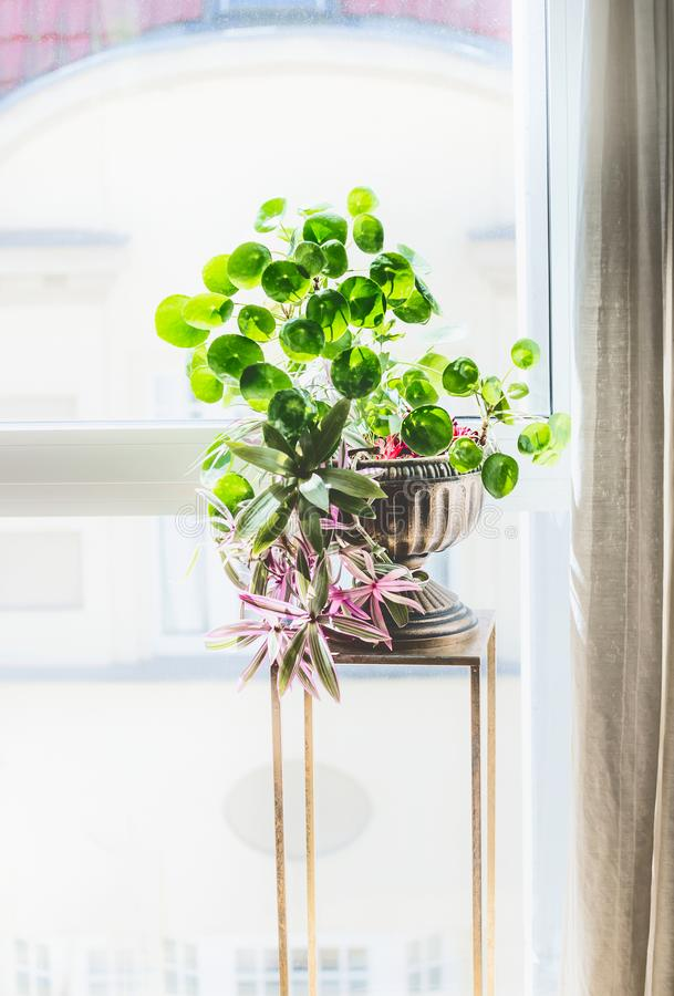 Home interior decor with indoor house plants. Beautiful urn planter with Chinese money plant royalty free stock photo