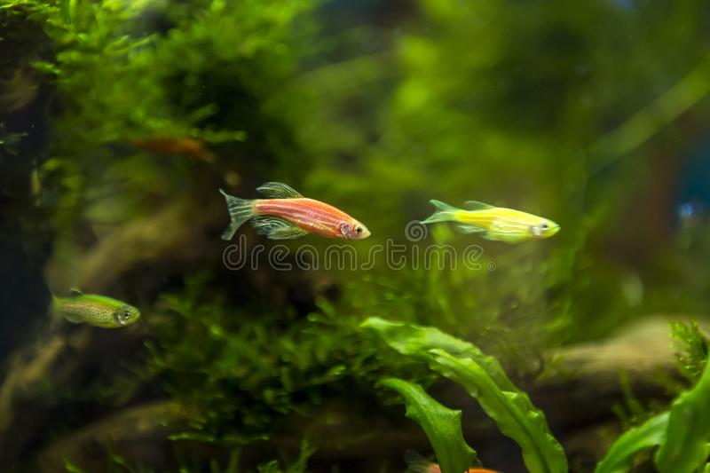 Home-made aquarium with small flower fish against the backdrop of green underwater wildlife. Small aquarium at home. fish farming stock photo