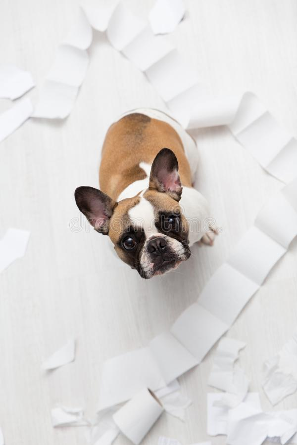 Home pet destruction on white bathroom floor with some piece of toilet paper. Pet care abstract photo. Small guilty dog with funny. Face stock images