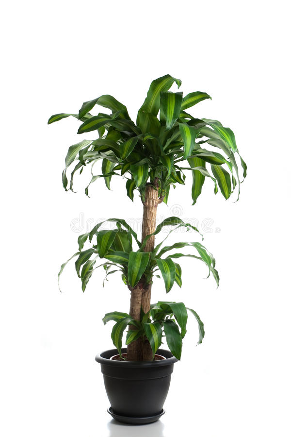 Home plant in flowerpot royalty free stock image