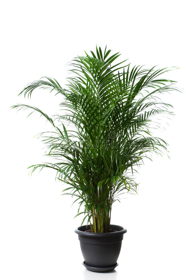Home plant in flowerpot royalty free stock photography