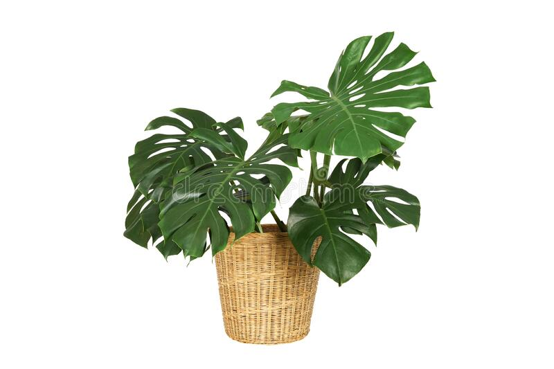 Home plant monstera in straw basket flowerpot isolated on white background. stock photos