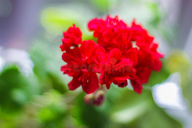 Home plant in a pot - geranium with bright red flowers.  royalty free stock photo