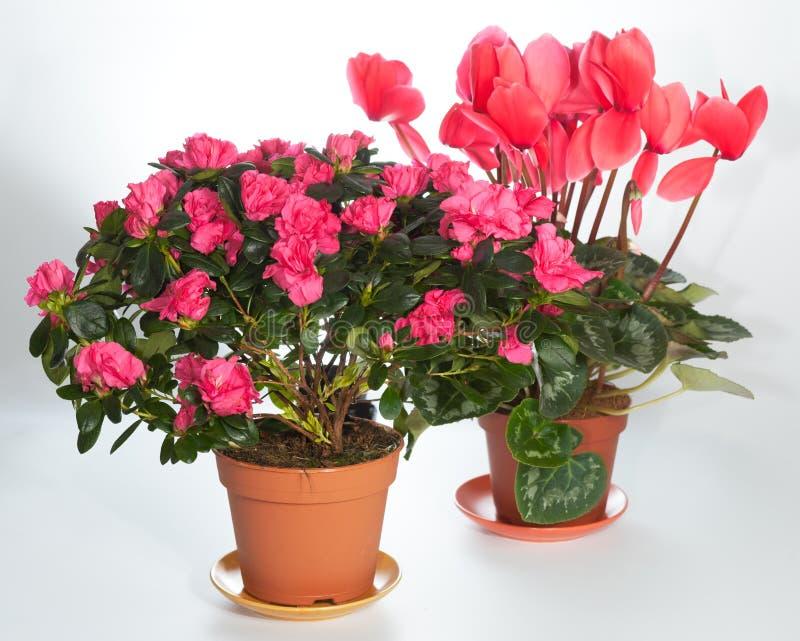 A HOME planta o grupo (azálea, Cyclamen) imagem de stock royalty free