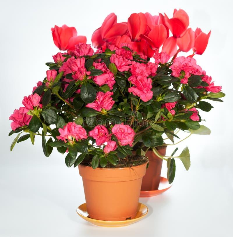 A HOME planta o grupo (azálea, Cyclamen) fotografia de stock