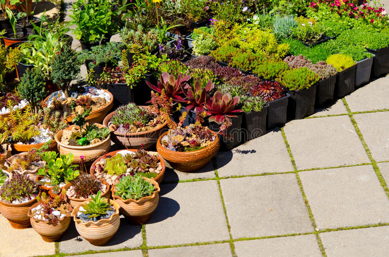 Home plants for sale. Home plants and crawlers in flowerpots stock image