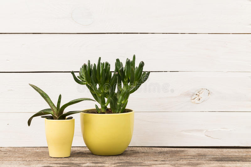 Home plants. Succulents in colorful pots stock images
