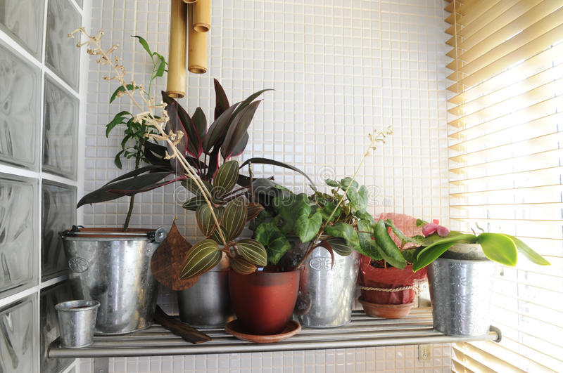 Home Plants by the Window - Sunny Interior. Several ornamentals species on a shelf near a window, as cyclamen persicum, maranta leuconeura erythroneura, orchid royalty free stock photography