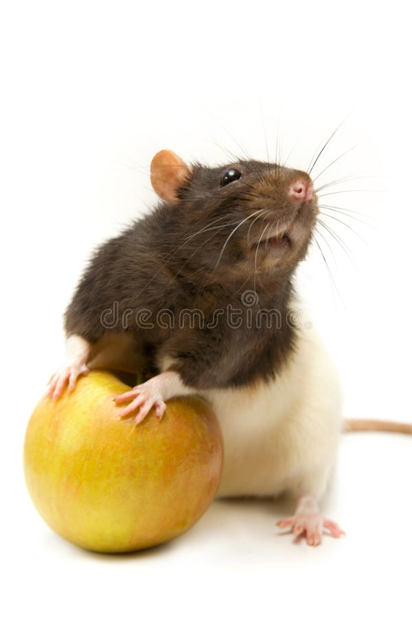 Download Home rat with apple stock photo. Image of black, animal - 15024786
