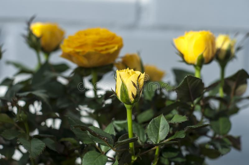 Yellow rose. Home yellow rose at sunny day. Home rose at sunny day. Domestic flowers. Sweet home. Home gardening. Flowerbed. Potted flowers. pot. Green and royalty free stock photo
