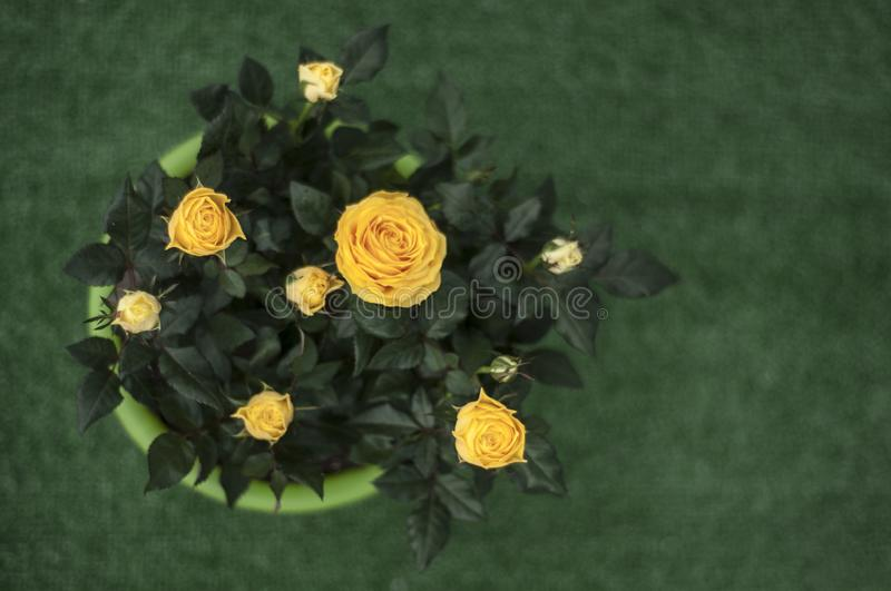 Home yellow rose at sunny day. Yellow rose. Home rose at sunny day. Domestic flowers. Sweet home. Home gardening. Flowerbed. Potted flowers. pot. Green and stock image