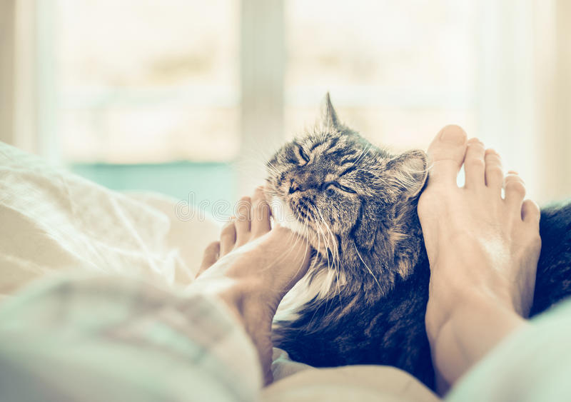 Home scene with cat in bed. Women's feet are scratching the neck of the cat. Indoor royalty free stock photography