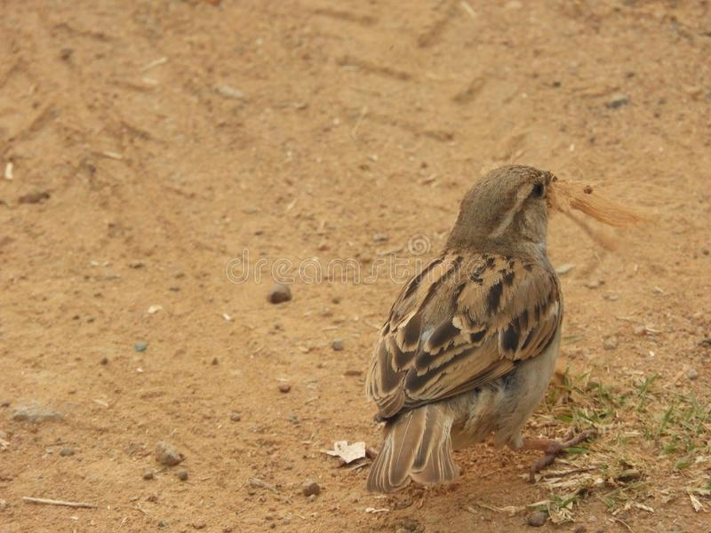 Home sparrow collection royalty free stock images
