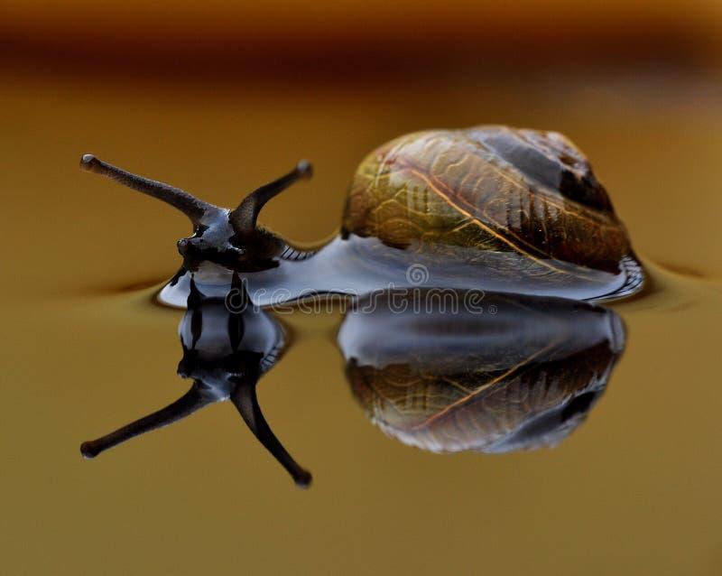 Home sweet home, snail Arianta arbustorum royalty free stock image
