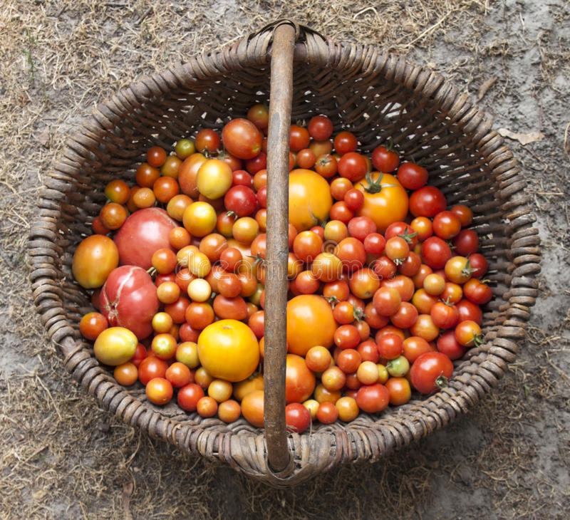 Download Home Yield Different Tomatoes Editorial Photo - Image: 15618066