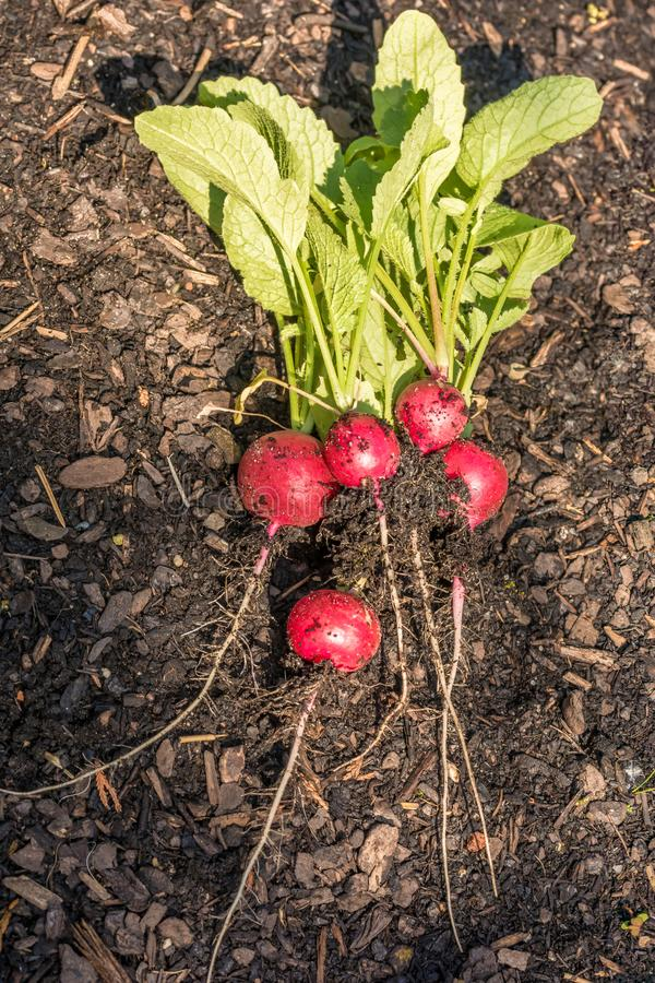 Homegrown ραδίκια μετά από τη συγκομιδή στον κήπο στοκ εικόνα