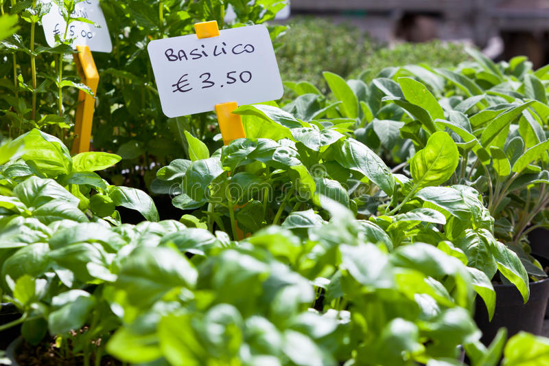 Homegrown Basilikumsämlinge stockfotografie