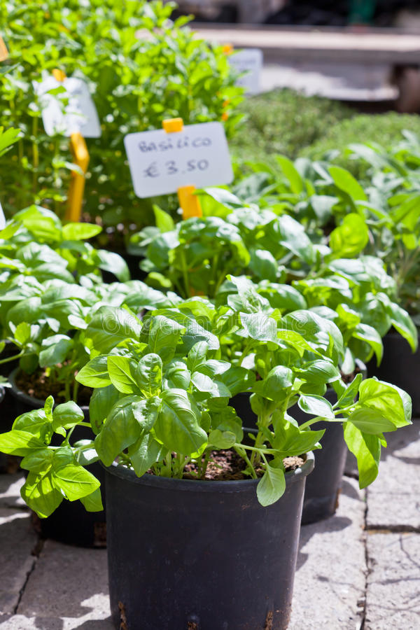 Homegrown Basilikumsämlinge stockbild