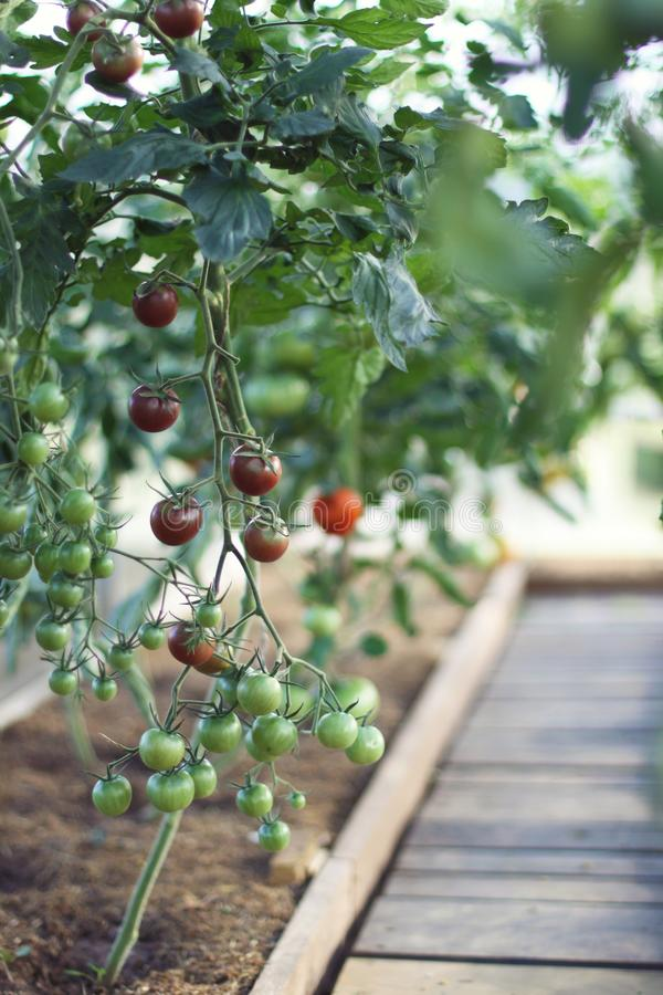 Fresh tomatoes in a greenhouse royalty free stock photography