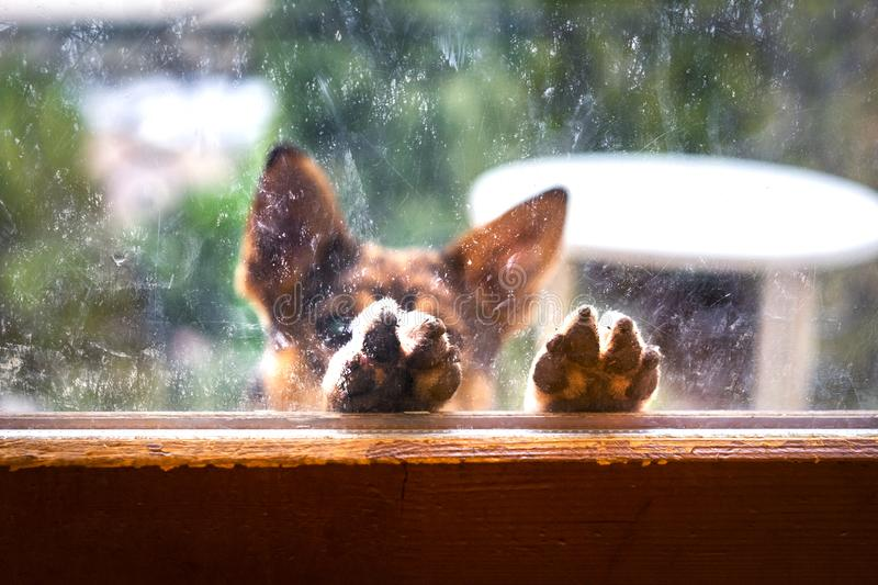 A homeless brown dog lifted his paws to the window, asking for food royalty free stock photo