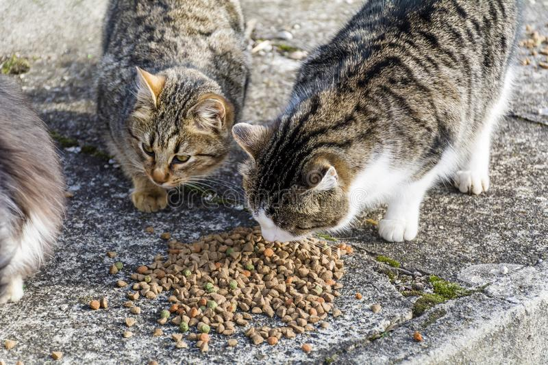 Cats Eating Dry Food royalty free stock photos