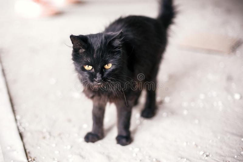 Homeless cute black cat with yellow eyes walking in city street. Hungry stray kitty on background of grey wall near shelter. Copy stock image