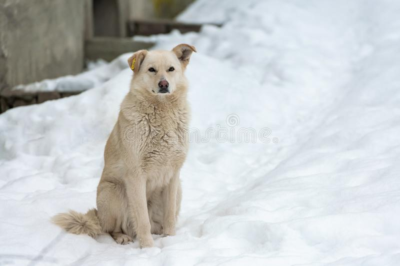 Homeless dog with chip in ear on winter road, copy space. Not purebred good kind doggy, cute friend. Hungry dog is waiting for. Food stock photography