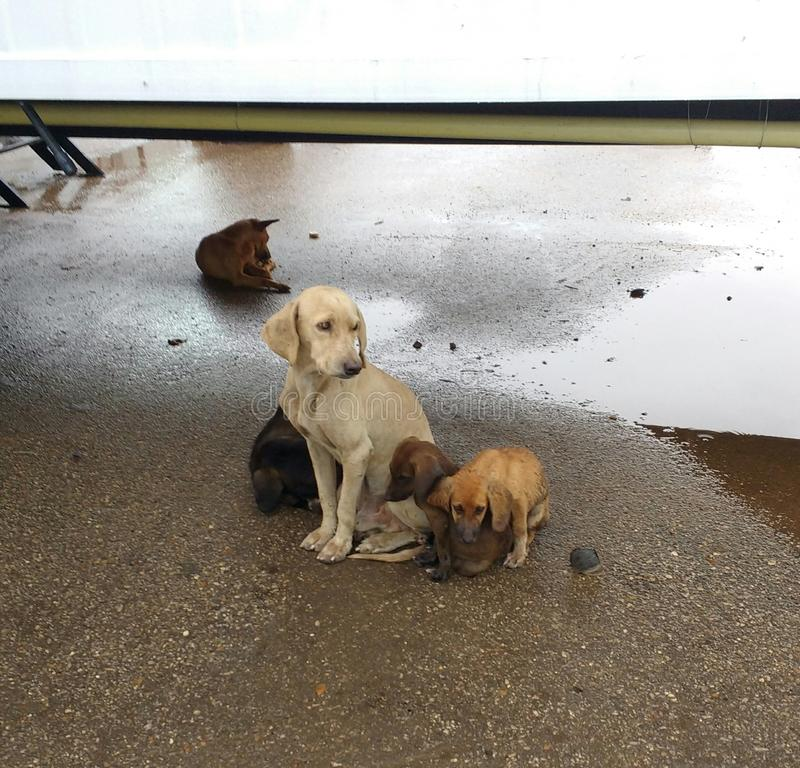 Homeless dog family after rain. At oil rig, the mother with her puppies on the first plane and the father behind royalty free stock photo