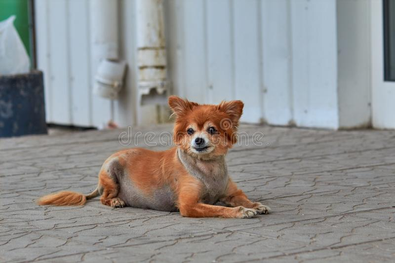 The homeless dog. The dog lies on the ground. Old dog with a sad look. Red-haired dog on the street. The old doggy lies on the si stock images