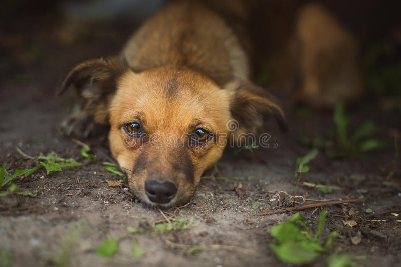 Homeless dog. In the Ukrainian village stock photo