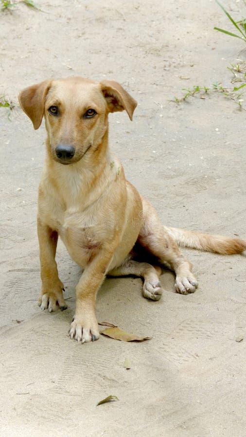 Yellow village dog sitting royalty free stock image