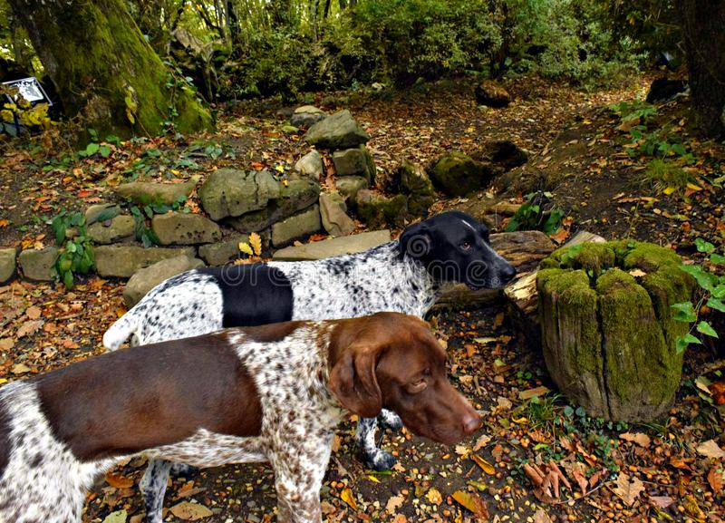 Homeless dogs kurtshaar in the forest in the mountains royalty free stock images