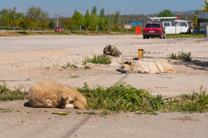 Homeless dogs sleeping in the street in Turkey stock photo