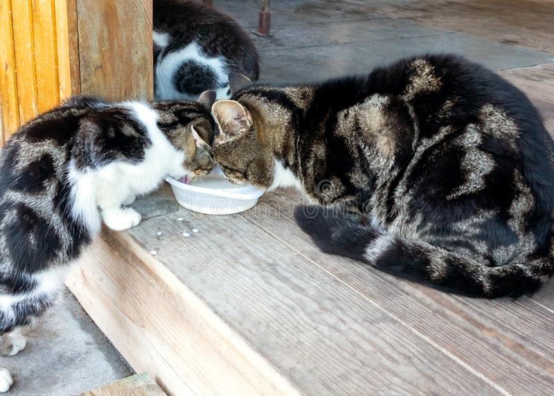 Homeless family of cats, mom, dad and son eat milk.  stock images