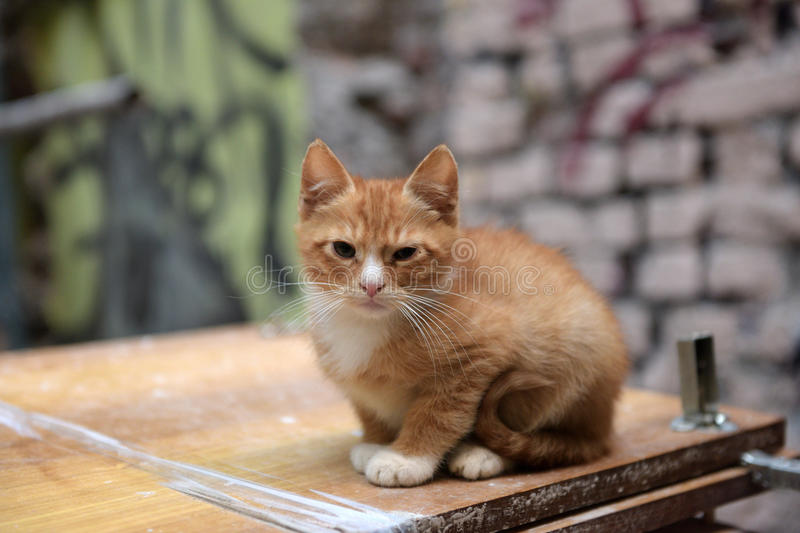 Homeless ginger kitten stock photography
