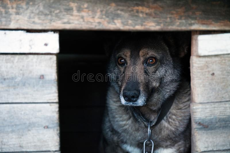 Homeless gray dog on a chain peeks out from the booth.  royalty free stock photos