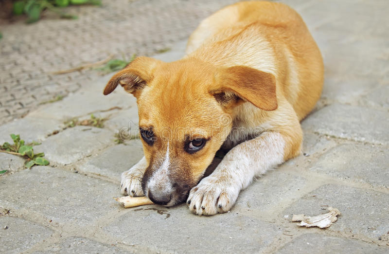 Homeless little puppy gnawing a bone. Outdoors stock image
