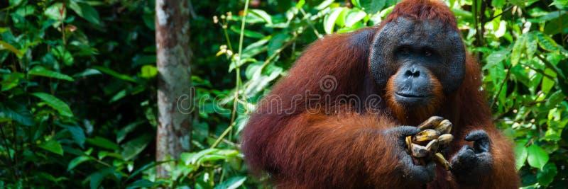 Homem alfa de Utan do orangotango com a banana em Bornéu fotografia de stock royalty free