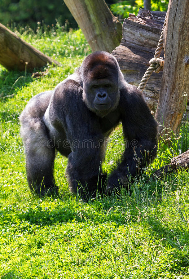 Homem alfa do gorila fotos de stock