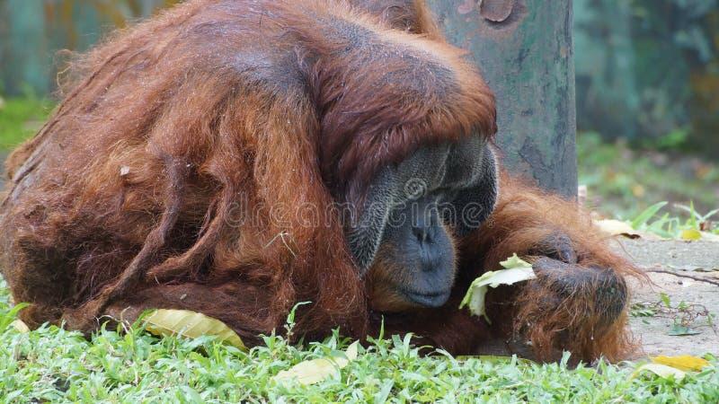 Homem alfa do orangotango Utan que encontra-se para baixo imagens de stock