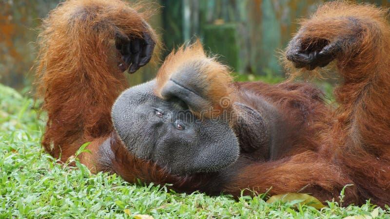 Homem alfa do orangotango Utan que encontra-se para baixo imagem de stock royalty free