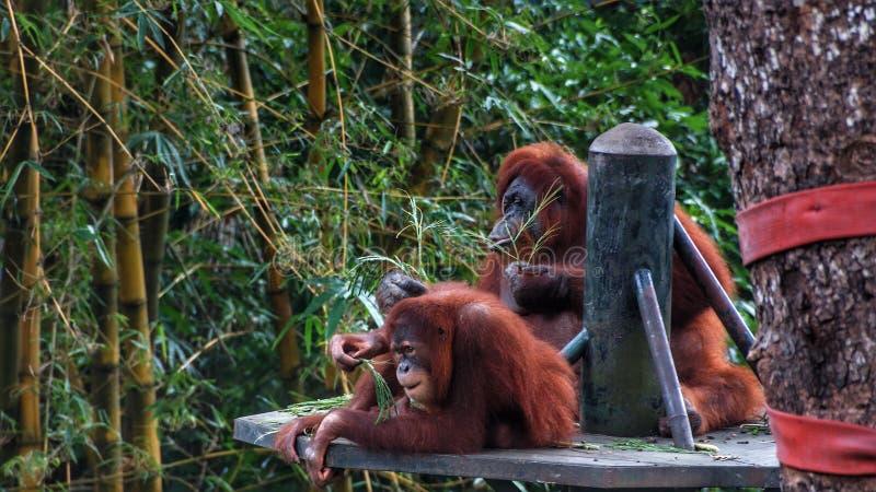 Homem alfa do orangotango Utan que encontra-se para baixo imagens de stock royalty free