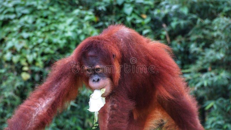Homem alfa do orangotango Utan que encontra-se para baixo imagem de stock