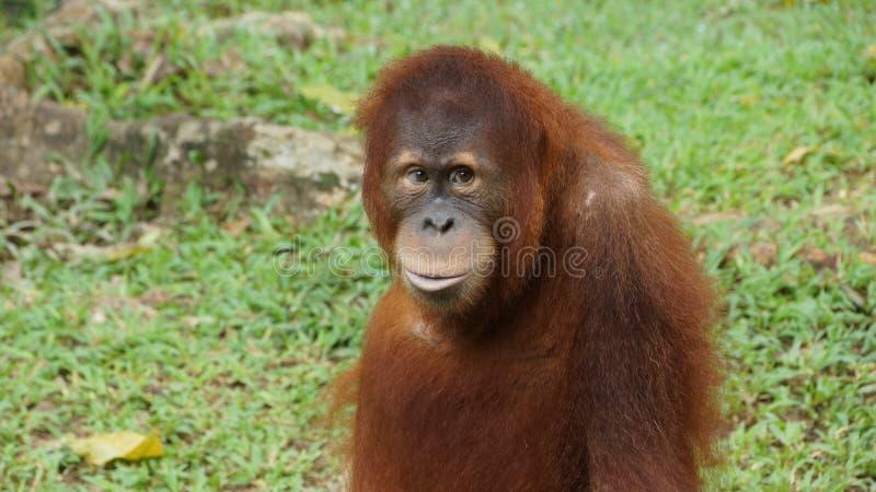 Homem alfa do orangotango Utan que encontra-se para baixo foto de stock royalty free