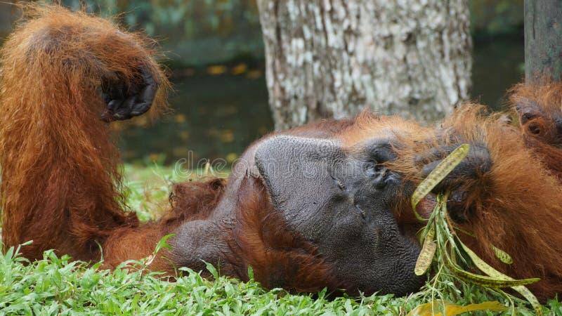 Homem alfa do orangotango Utan que encontra-se para baixo foto de stock
